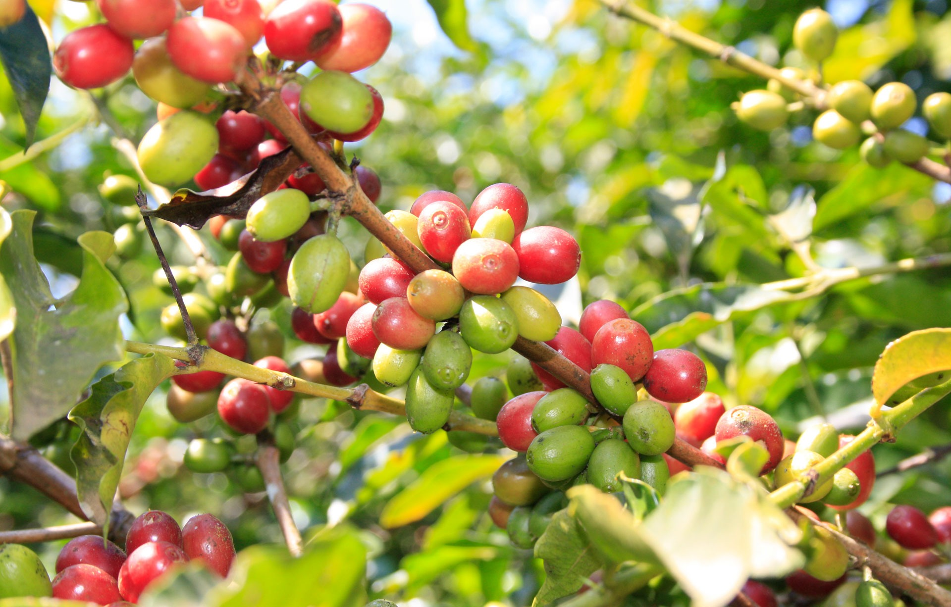 Anbassa-artisan-torrefacteur-origine-du-cafe