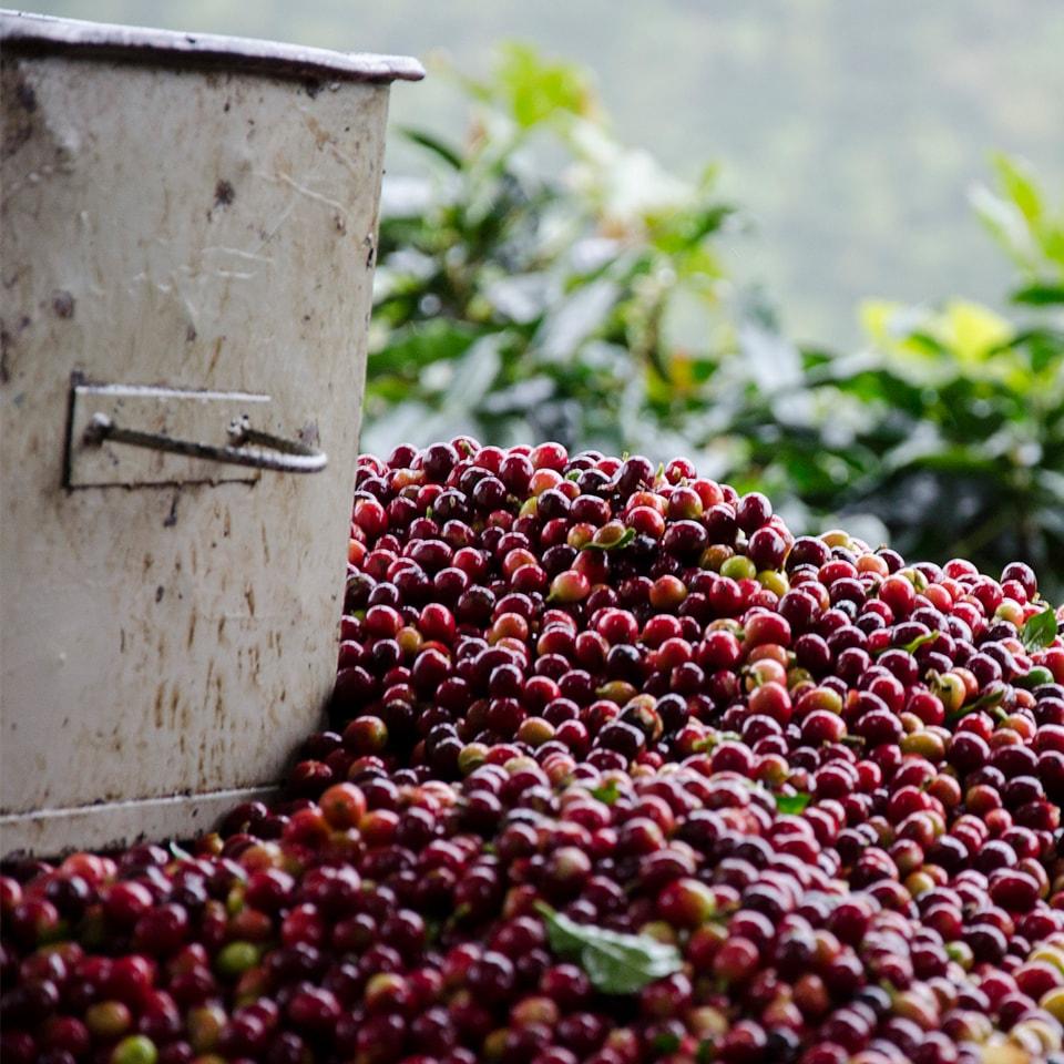 Anbassa-artisan-torrefacteur-arbre-cafe-vert-honey-slide-3-min