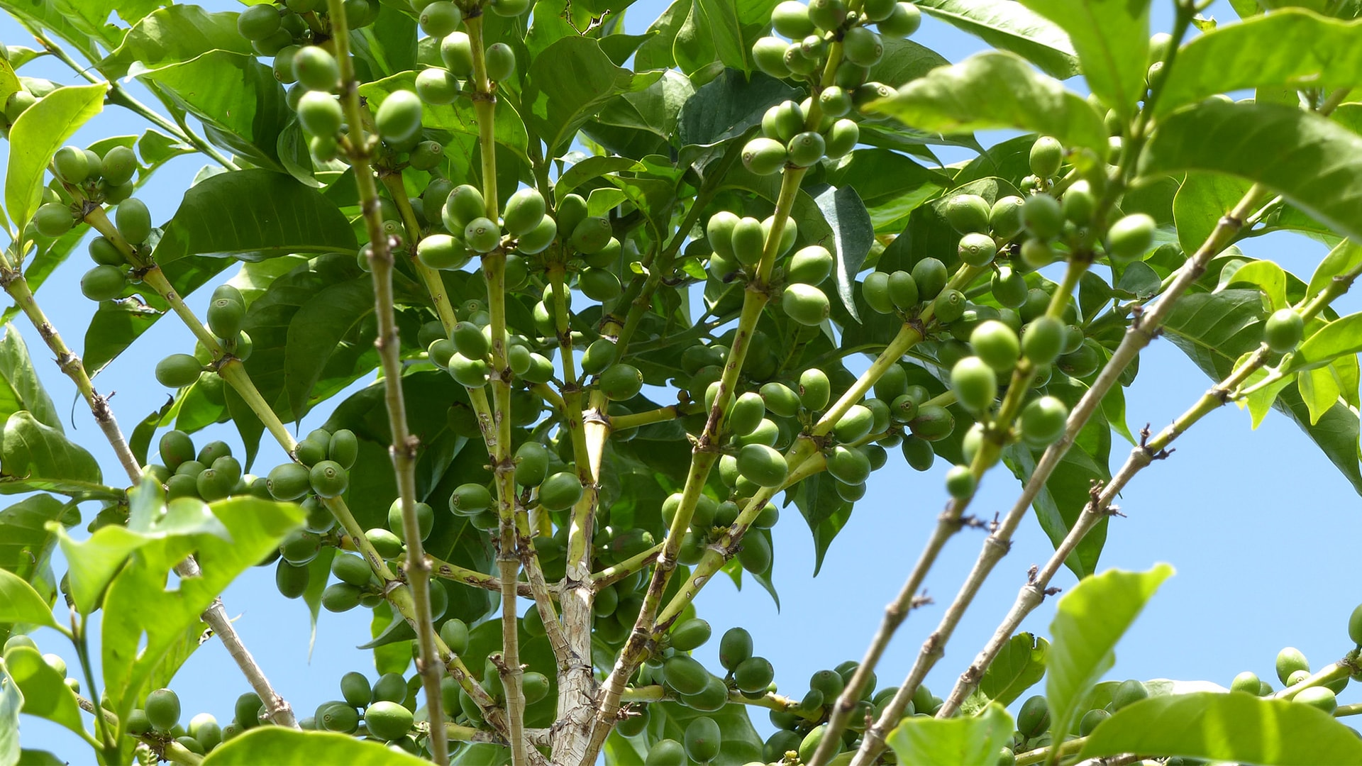 Anbassa-artisan-torrefacteur-arbre-le-cafeier-lhistoire-de-ses-varietes-slide-1-min