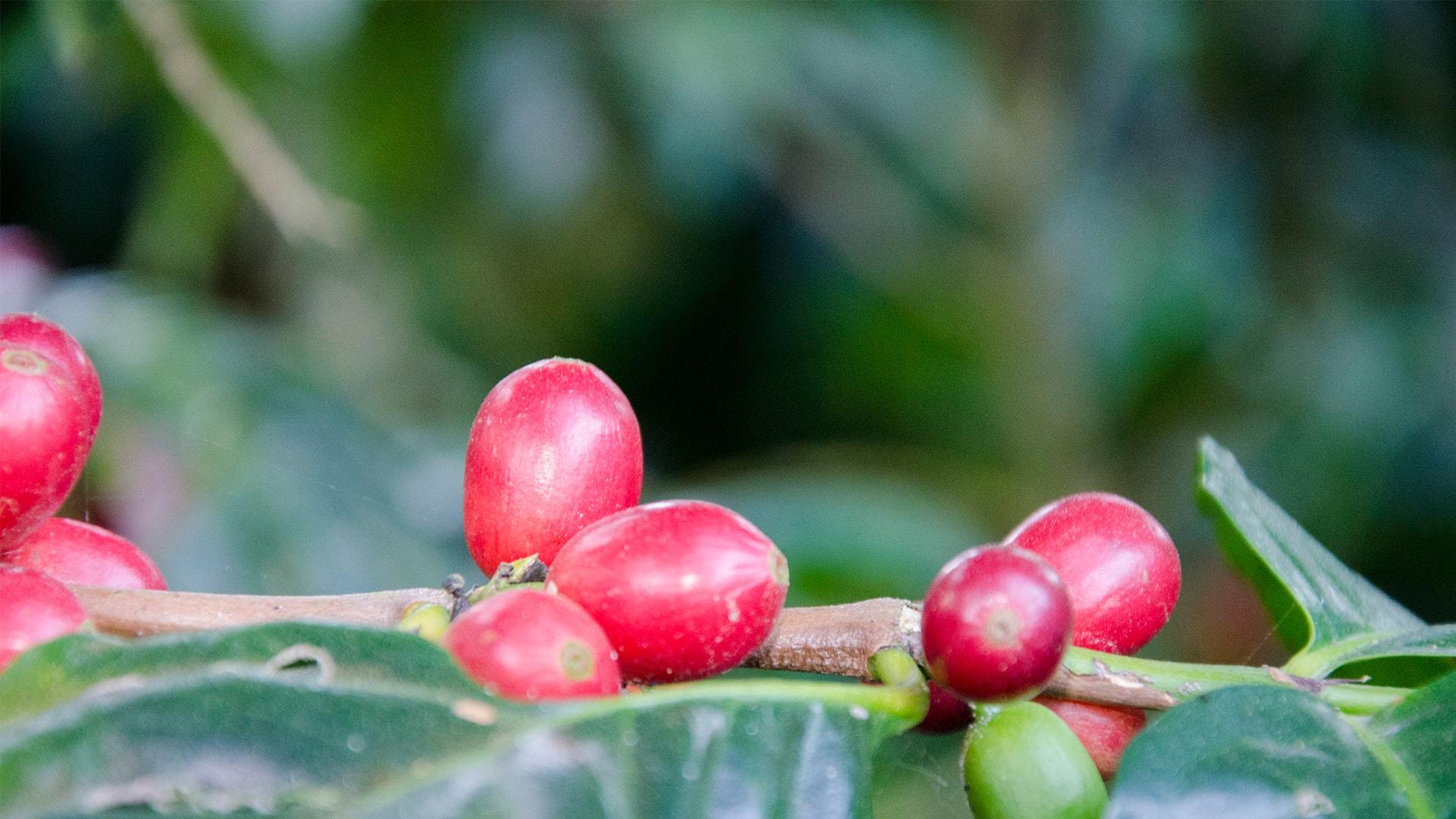 Anbassa-artisan-torrefacteur-arbre-le-cafeier-lhistoire-de-ses-varietes-slide-2-2-min