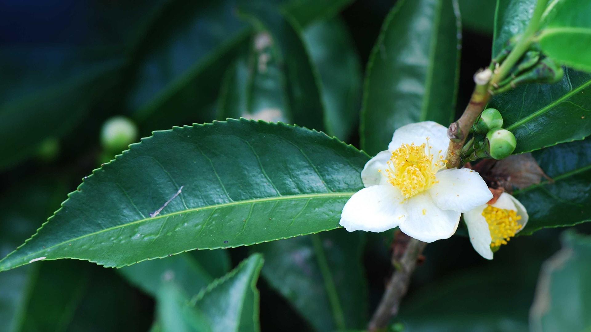 Anbassa-artisan-torrefacteur-breve-histoire-du-the-Camellia-sinensis_Bois-Cheri-slide-min