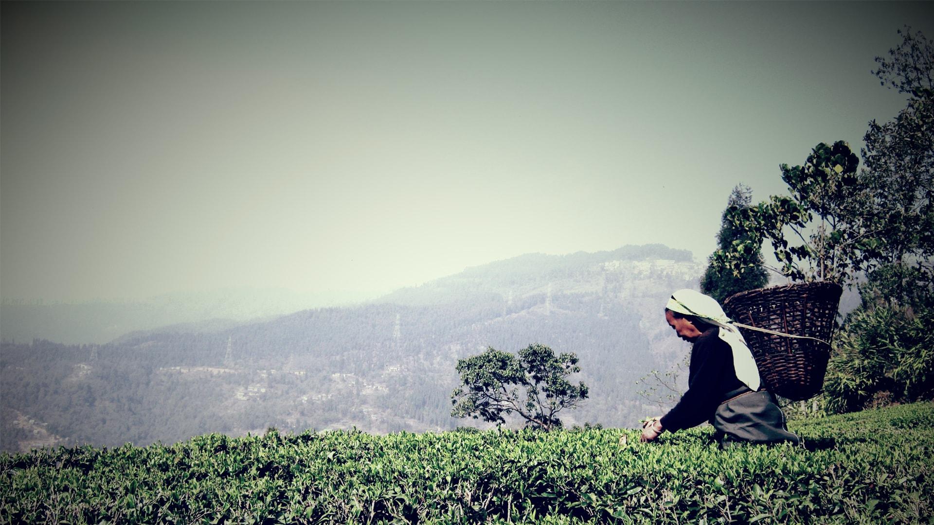 Anbassa-artisan-torrefacteur-different-type-de-the-Niroula-Tea-Farm-min