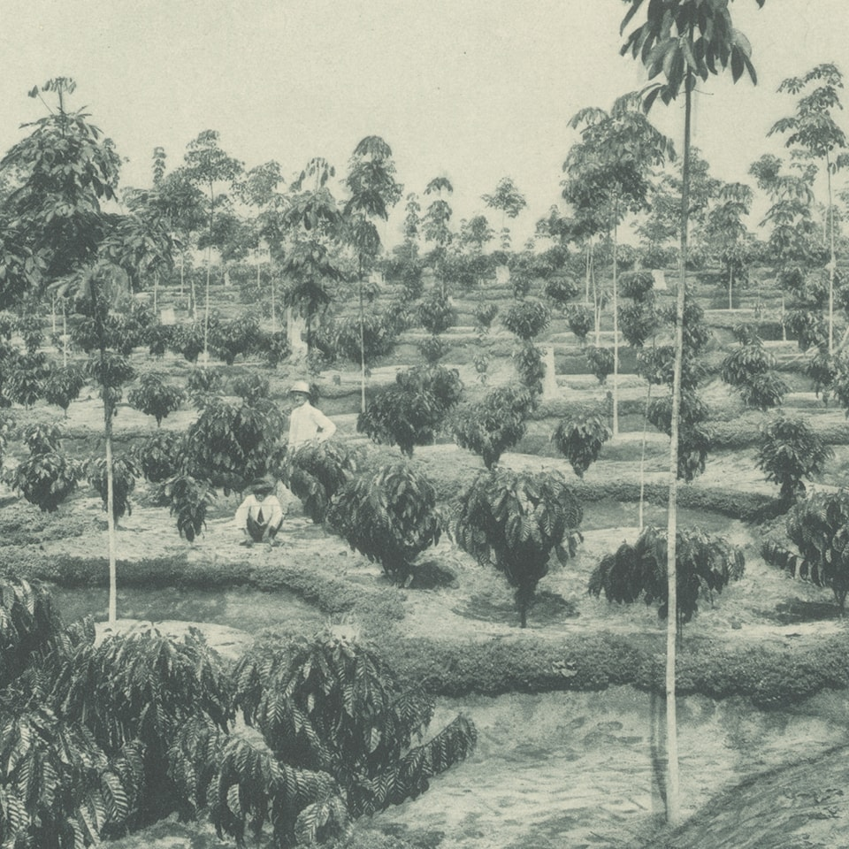 Anbassa-artisan-torrefacteur-les-arabicas-Plantation-Sumatra-min