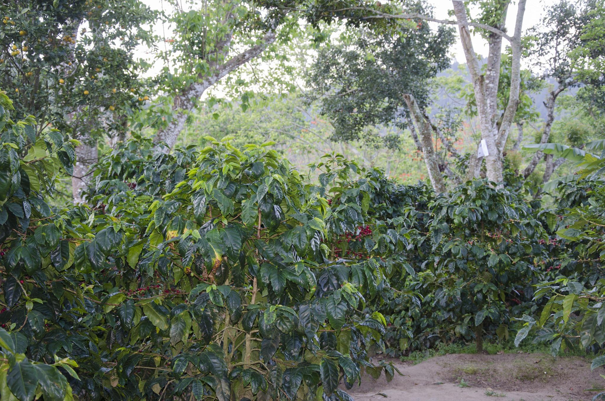 anbassa-artisan-torrefacteur-nicaragua-maracaturra-plantation