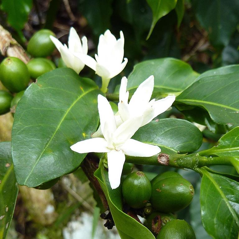 Anbassa-artisan-torrefacteur-arbre-cafe-vert-sinformer