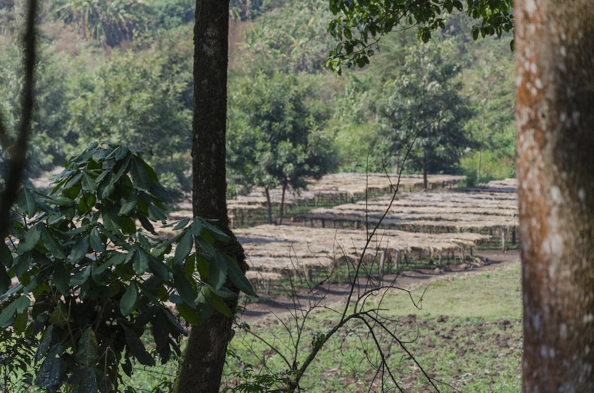 Anbassa-artisan-torrefacteur-cafe-ethiopie-anfilloo-henna-plantation