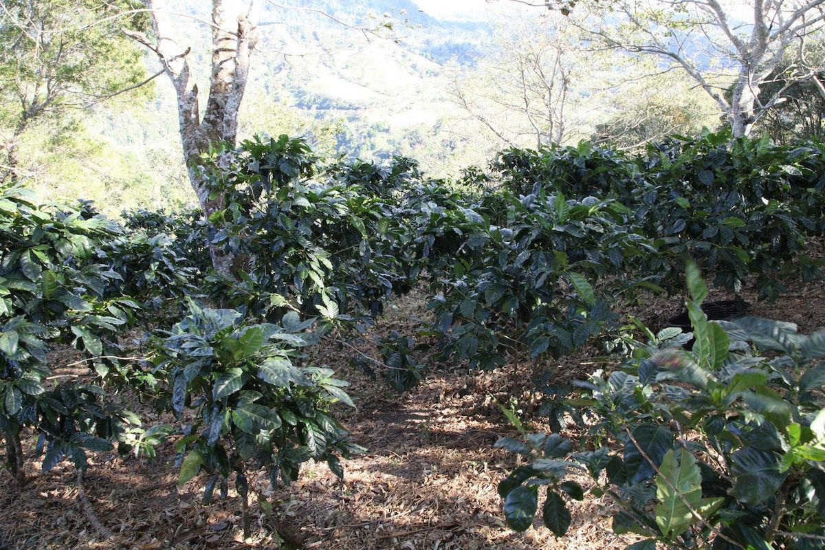 Anbassa-artisan-torrefacteur-cafe-geisha-baru-black-mountain-plantation