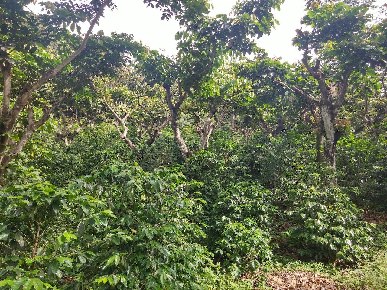 anbassa-artisan-torrefacteur-cafe-guatemala-blackhoney-montedeoro-4