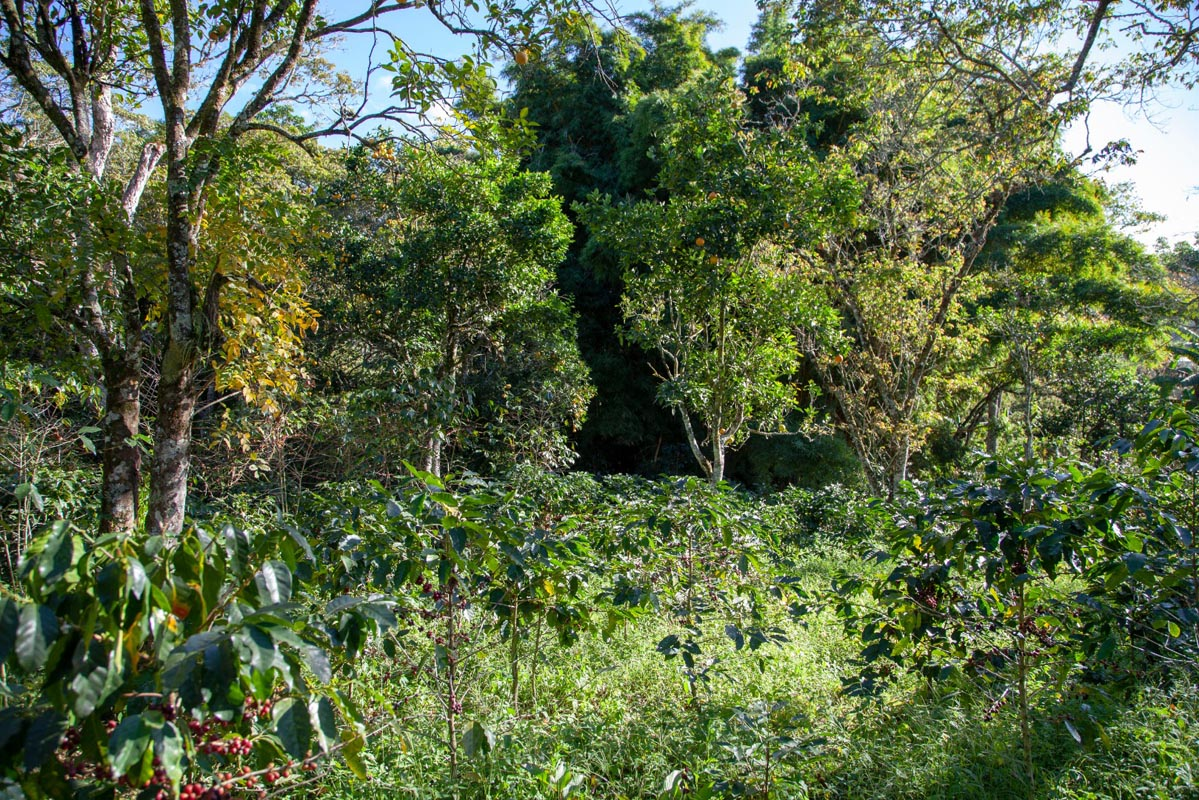 Anbassa Artisan Torrefacteur Honduras4