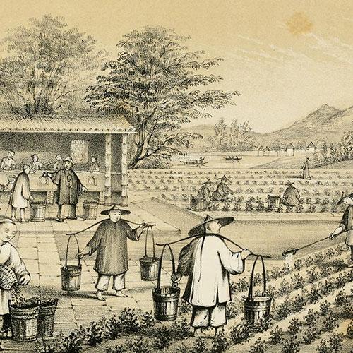 Anbassa Artisan Torrefacteur Breve Histoire Du The Culture And Preparation Of Tea 1