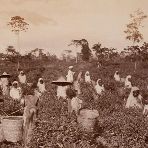 Anbassa Artisan Torrefacteur Breve Histoire Du The Tea Ramassage Du The 1