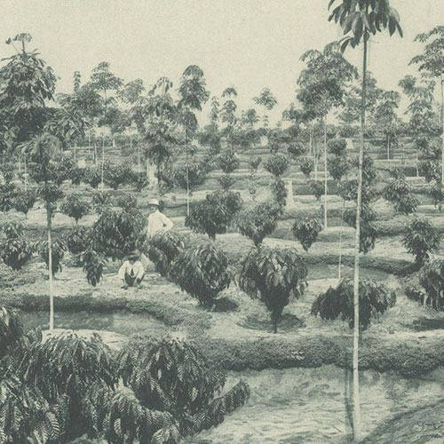 Anbassa Artisan Torrefacteur Les Arabicas Plantation Sumatra 1